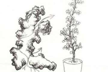 图解 怎么制作石上树式盆景的方法