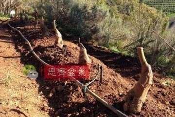 图解 朴树下山桩怎么栽培的方法