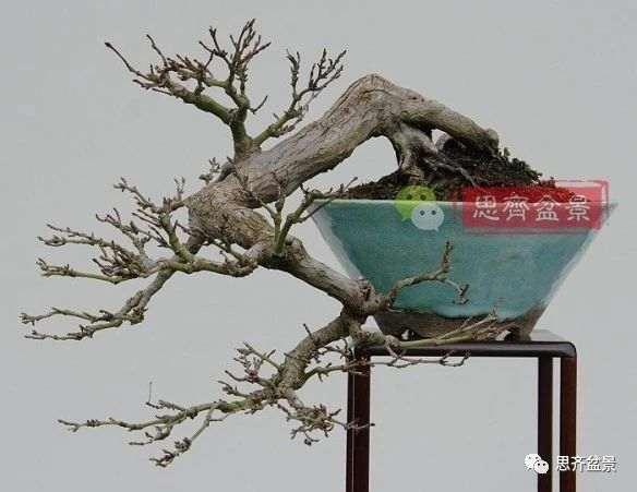 红枫下山桩怎么制作盆景的过程