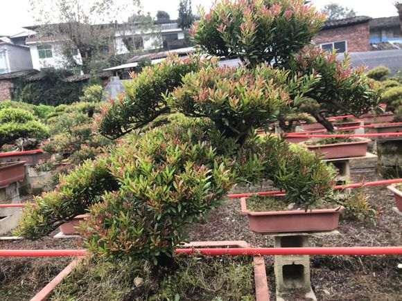 这是赤楠下山桩还是假赤楠下山桩 图片