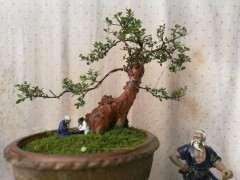 三叶赤楠下山桩种了一年多了 上些图片