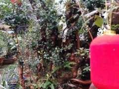 这个赤楠下山桩估价600元 贵吗 图片
