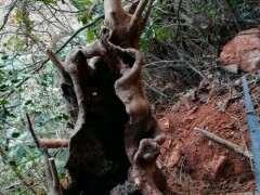 这赤楠下山桩要养多久才成型 图片