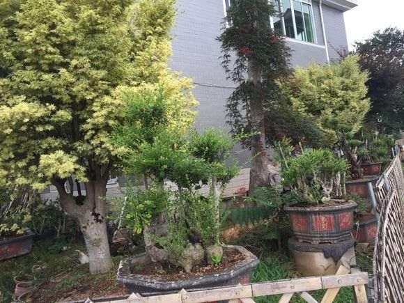小叶赤楠下山桩都开始开花挂果了