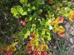 第一次发现这么红叶片的赤楠下山桩 图片