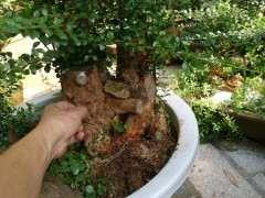 轮生赤楠下山 种养一年多了 大家看下 图片