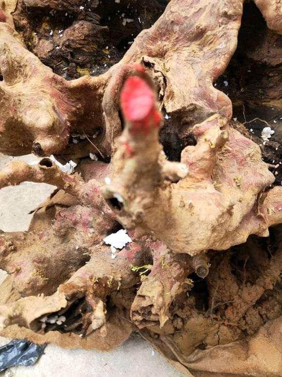 赤楠下山桩怎样才能重新发芽 图片
