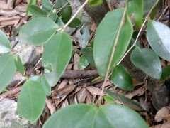 这是二叶对生赤楠下山桩吗 图片