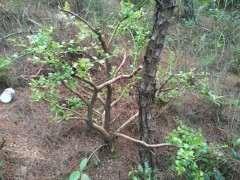 请问这是三叶红芽赤楠下山桩吗 图片