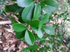 这是不是三叶轮生小叶赤楠下山桩 图片