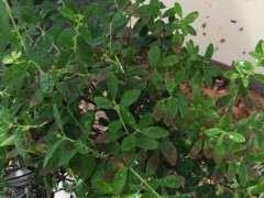 赤楠下山桩这的老叶子干枯 怎么办 图片