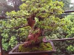 为什么赤楠下山桩的叶子 每年要剪短