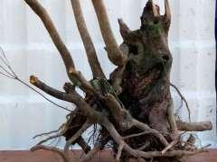 为什么春天的赤楠下山桩沙种没带土 种死了