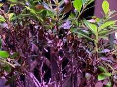 赤楠下山桩的叶子 大量落叶 怎么办 图片
