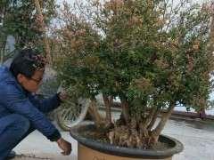图解 小叶赤楠下山桩怎么上盆的方法