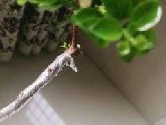 赤楠下山桩发芽多长才算成活 图片