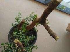 赤楠下山桩发芽不够红是怎么回事 图片
