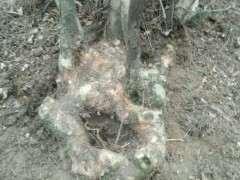 为什么赤楠下山桩的叶子像米叶黄杨 图片