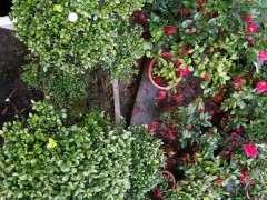 红芽赤楠下山桩 盆养了近十年了 图片