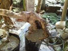 我的赤楠下山桩用保湿 还可以成活吗 图片