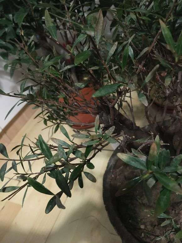 赤楠下山桩换土换盆后 掉叶子 怎么办