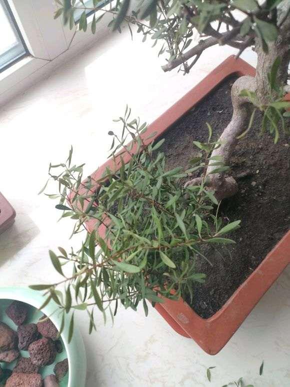 赤楠下山桩的叶子全干了 两周没浇水 怎么办