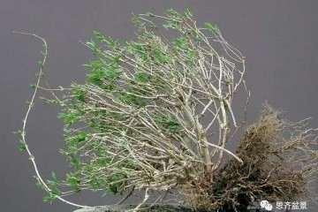 图解 绿化灌木老桩怎么制作盆景的方法