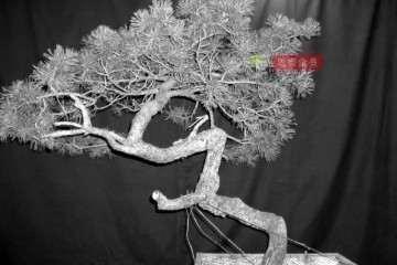 图解 松树下山桩怎么制作盆景的过程