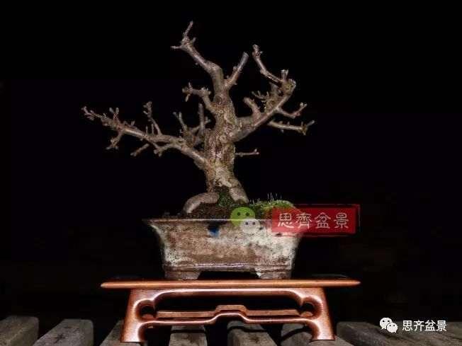 海棠小老桩怎么制作盆景的方法