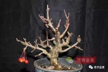 图解 海棠小老桩怎么制作盆景的方法