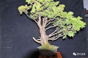 图解 松树盆景怎么修剪的方法