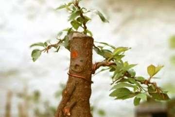 图解  直干樱桃下山桩怎么制作盆景