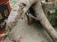 榔榆下山桩怎么裁枝和后期制作 图片