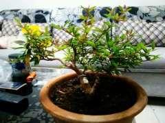 石榴下山桩高压栽培几年最好 图片