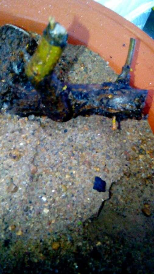 两个半月 夏季石榴下山桩扦插发芽了 图片