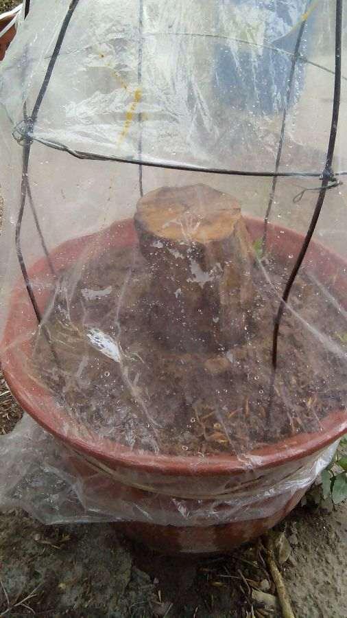 今年春天扦插的几棵石榴下山桩 图片
