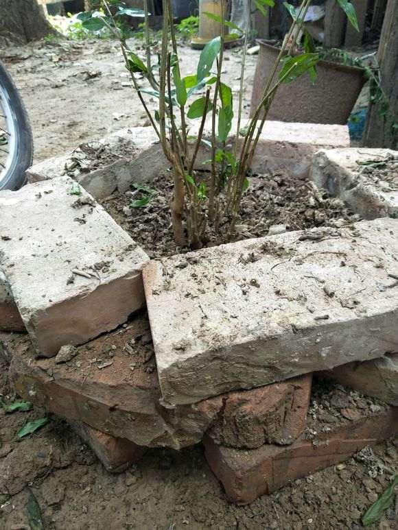 石榴下山桩怎么地栽高培土的方法 图片