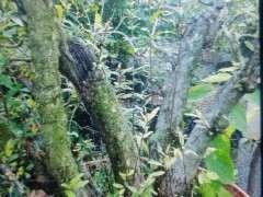 嫁接了几棵盆栽石榴下山桩 树桩不好