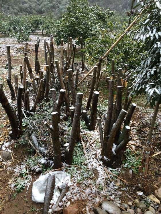 四个冬青下山桩树桩 一共1000块钱 亏吗