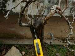 平头的石榴下山桩怎么处理的方法 图片