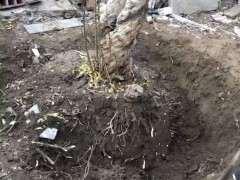 石榴下山桩地栽 半年都长不大 怎么办 图片