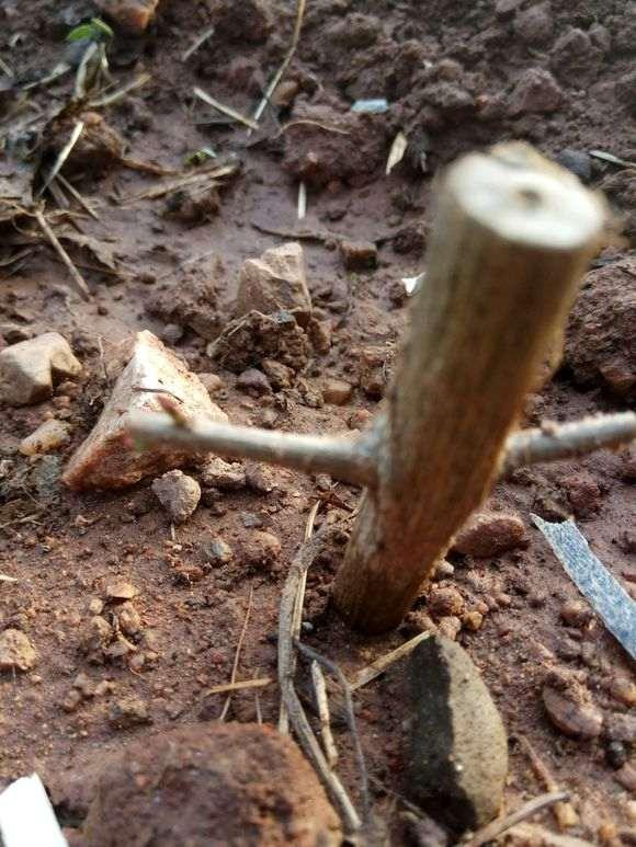 为什么石榴下山桩容易成活且长根 图片