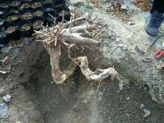 石榴下山桩怎么倒栽能活的方法 图片