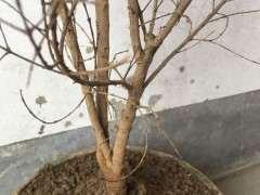 这个石榴下山桩怎么制作成盆栽 图片