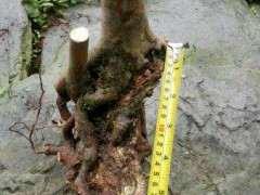 石榴下山桩什么方法能促进树干多发芽