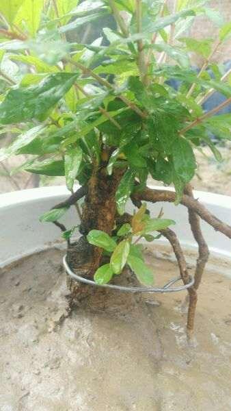 石榴下山桩树根怎么培养小盆景 图片