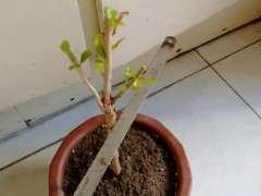 石榴下山桩在一个芽都没有了 怎么办 图片