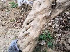 石榴下山桩树还有用吗 只开花 不结果 图片
