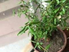 石榴下山桩树 为什么叶子卷曲 图片