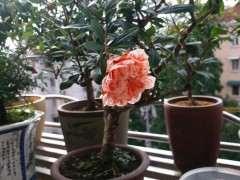 这种粉色的花的石榴下山桩是什么品种啊